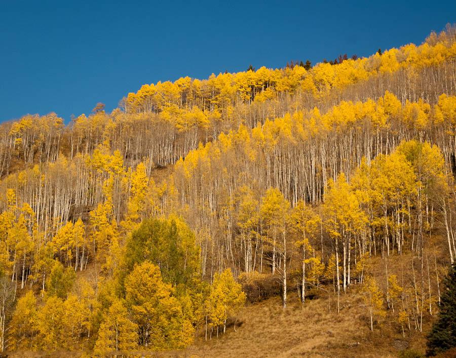 Golden aspens near Red Cliff, Colorado.