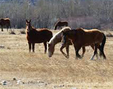 Wild horses near Rangely, CO.