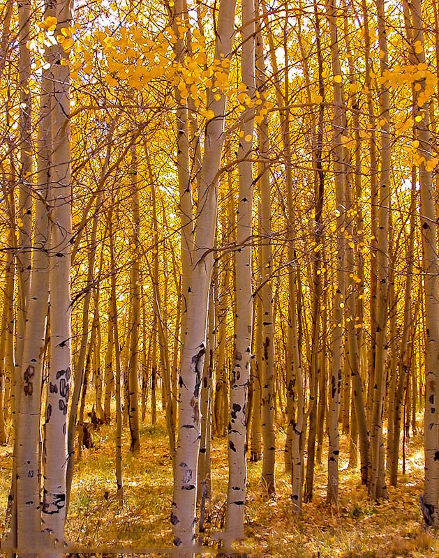 Aspen grove on Kenosha Pass