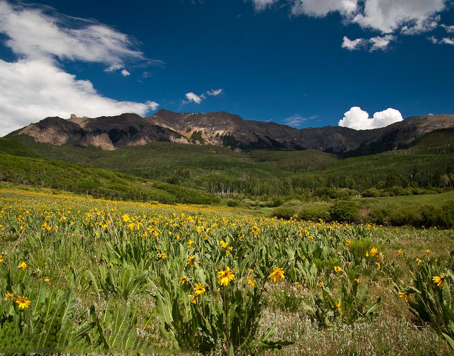 Field of sunflowers on the Last Dollar Road near Telluride, Colorado.