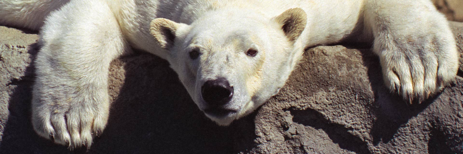 header polar bear denver zoo 94060119p