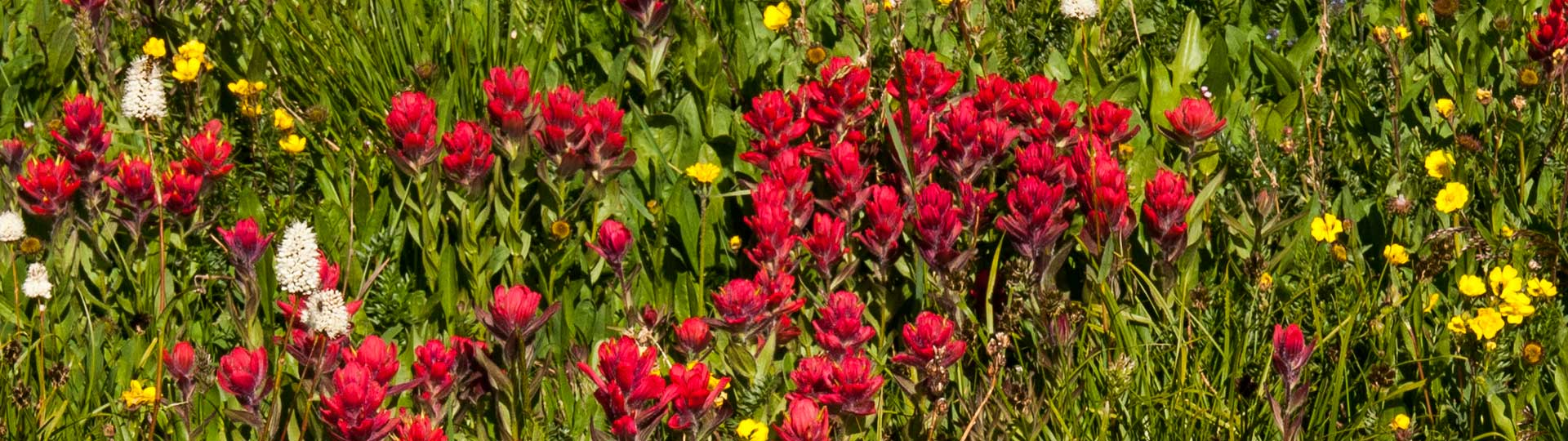 header red-indian paintbrush 20100724-38